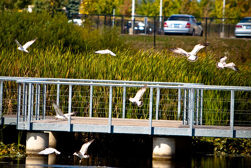 park seagulls ontario canada bird nature birds canon flying seagull september dslr 70200 2009 soe richmondgreen richmondhill 50d supershot anawesomeshot theunforgettablepictures naturewatcher theperfectphotographer thesuperbmasterpiece spiritofphotography