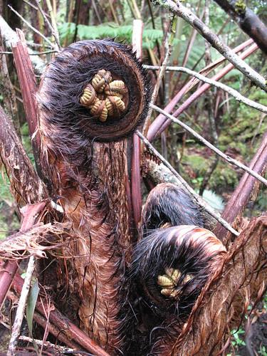 Tue, 05/19/2009 - 09:47 - Cibotium menziesii fiddlehead. Credit: Susan Cordell.