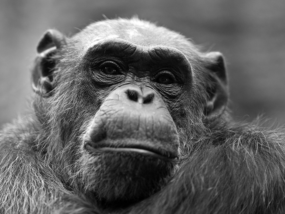 Chimpanzee | at Zoo Odense, Denmark | andreas lem | Flickr