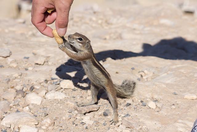 Erdhörnchen auf Fuerteventura