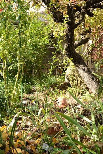 Citrus trifoliata (= Poncirus trifoliata) - Page 2 32112423611_349160d5e4