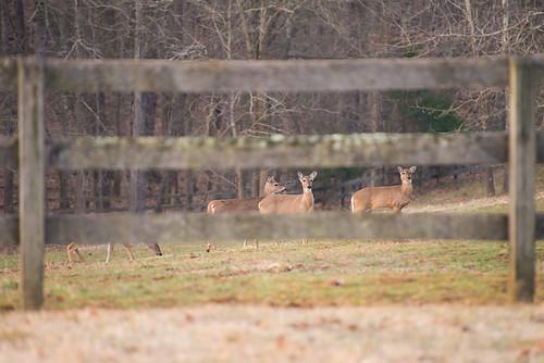 animal animals photography virginia nikon wildlife deer d800 nikond800