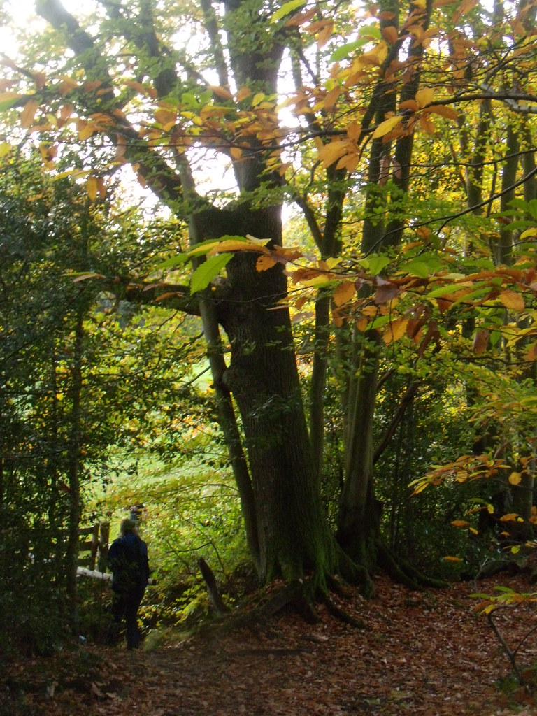 Autumn trees 9 Witley to Haslemere