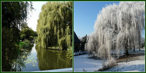 Same tree - Summer/Winter | by Coanri/Rita