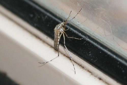 Aedes vittiger (Mosquito)
