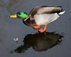 Duck and feather by Mark_Coates