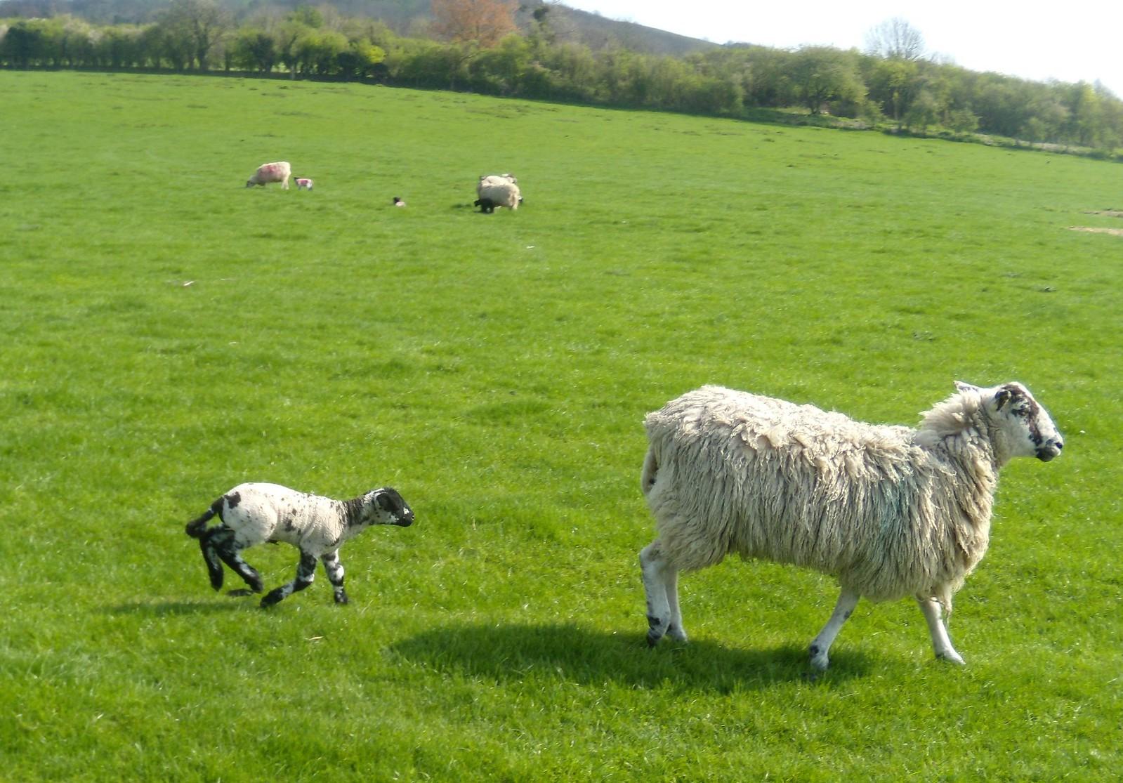 Sheep Wendover Circular