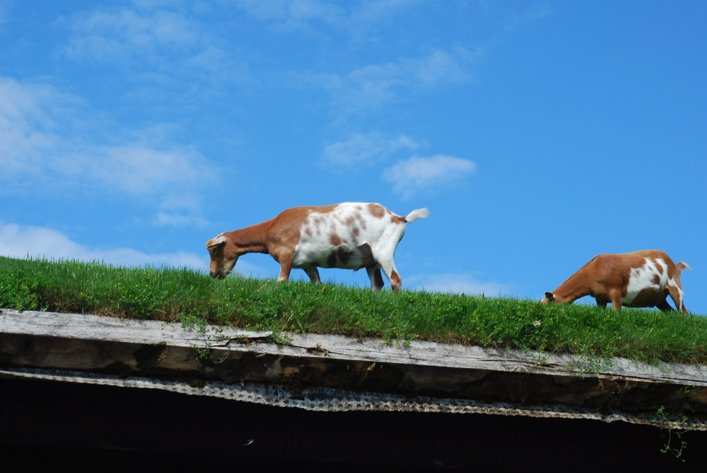goats on the roof @ al johnson's