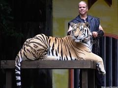 Big Cat Show - Tiger