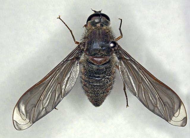 Comptosia heliophila Yeates 1991