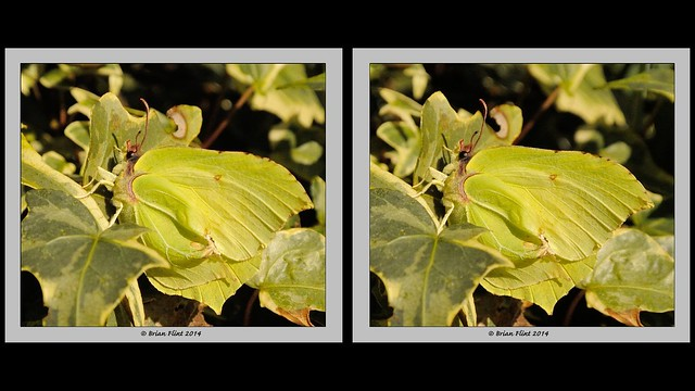 Brimstone Butterfly - 3d crossview