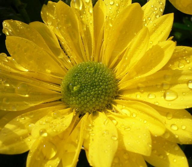 Rain drops on yellow daisy (Chrysanthemum)