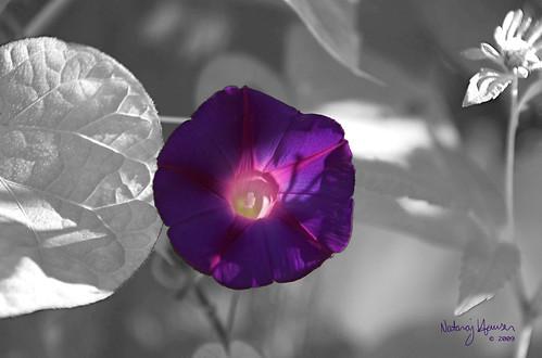 Morning Glory 1 by nataraj_hauser / eyeDance
