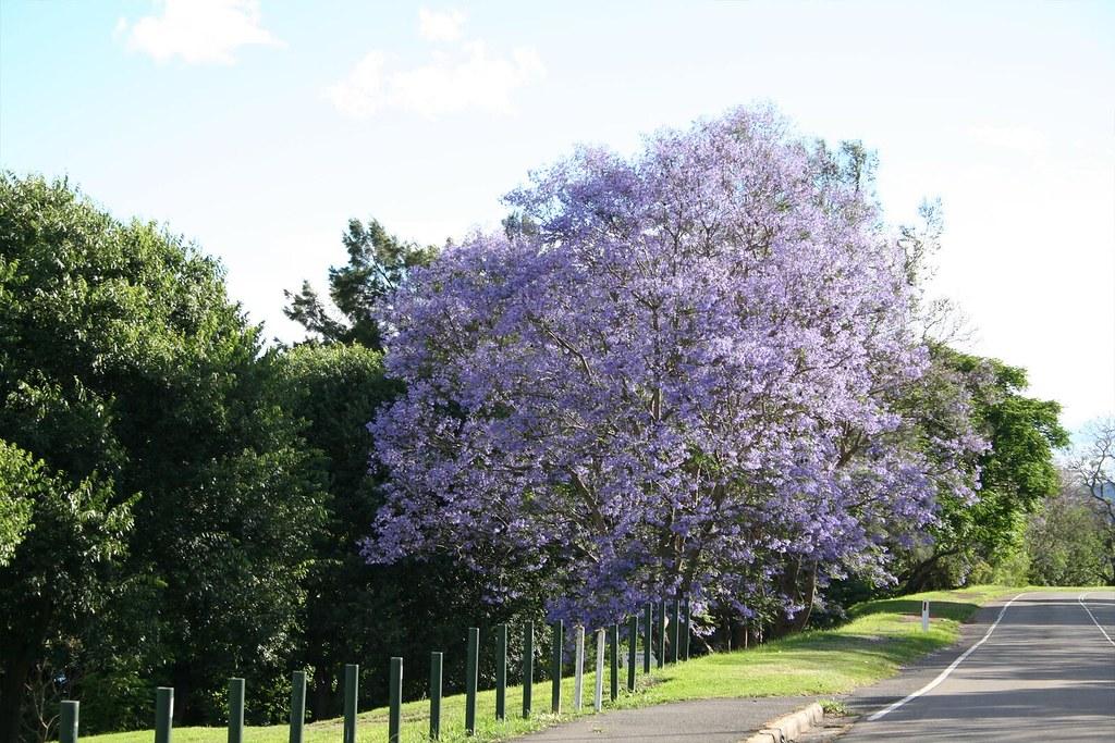 Jacaranda in Leonay NSW