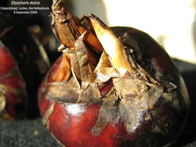 Eleocharis dulcis (Chinese water chestnut) - Calandstr, Leiden, NL 8 Sept 2008 Leo