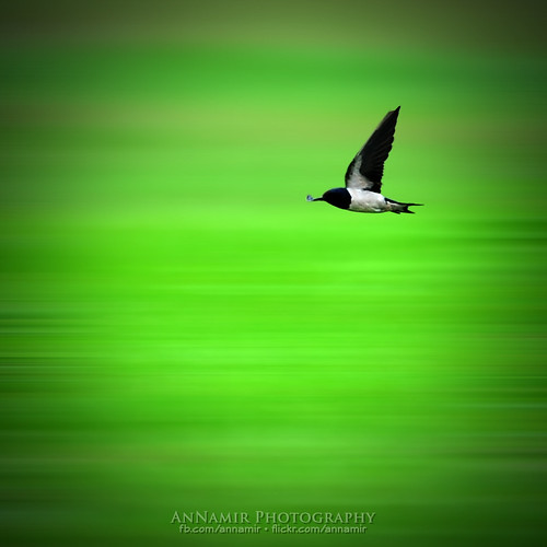 blur bird nature nikon birding sigma motionblur 70200 malaysiaairlines kualakubu abigfave annamir burunglayanglayang pesawatmas boeng777 prayformh370 mh370 doauntukmh370 pray4mh370 prayformh370b
