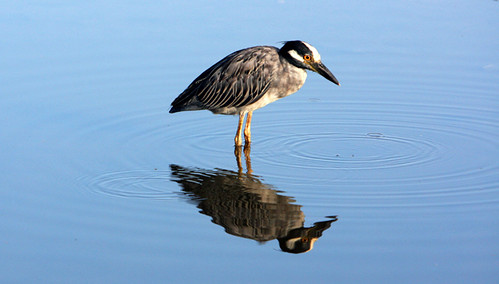 heron animals fauna coast texas gulf wildlife naturalhistory marsh np wildanimals yellowcrownnightheron brazorianationalwildliferefuge wyojones nyctanassaviolace
