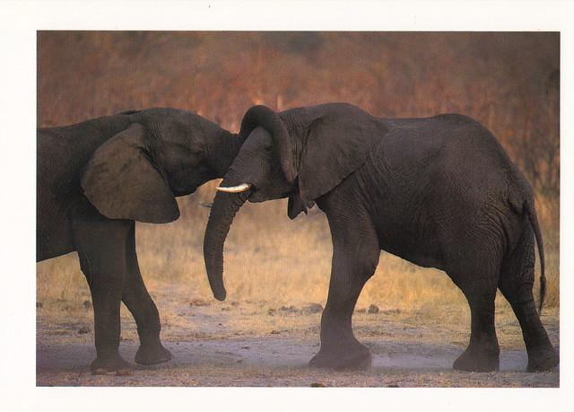 African Elephants Postcard