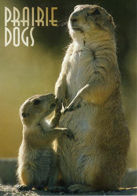 Oklahoma Prairie Dogs Postcard