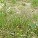 Flickr photo 'Koeleria macrantha (Crested hair-grass / Smal fakkelgras) 0693' by: Bas Kers (NL).