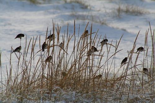 Birds of a feather flock together; Sand dunes, Dornoch beach | by foxypar4