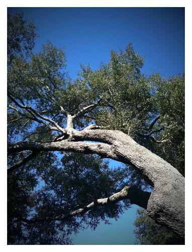 blue tree nature oak florida iphone