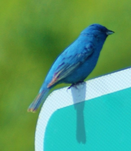 nature birds indigobluebuntingbird