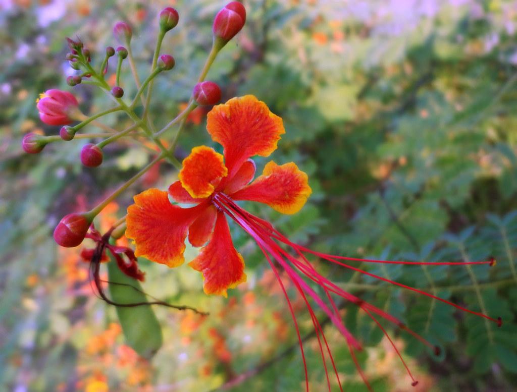 Bunga Flamboyan Henny Hr Flickr