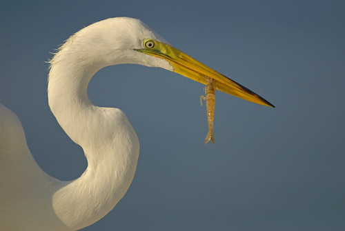 animal bird egret greategret ardeaalba avian nature natural wildlife outdoors outside shrmp neck sky closeup colorful feathers plumage watching staring looking baitshop hartslanding sarasotabay sarasota florida ineedajob avianexcellence michaeldskelton michaelskelton michaeldskeltonphotography