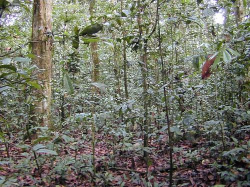 Mon, 10/26/2009 - 15:03 - Monodominant forest understorey. Credit: CTFS