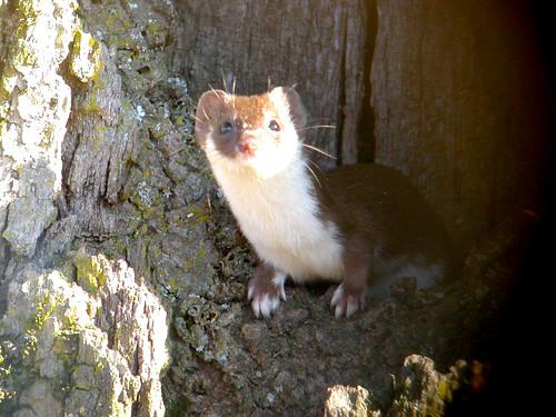 "Mouse Weasel, ""Breite Plateau"" near Sighişoara, Romania | by Frank.Vassen"