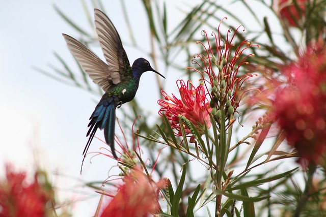 Beija-flor Tesoura (Eupetomena macroura) - Swallow-tailed Hummingbid 2 592 - 2