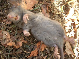 dead rodent