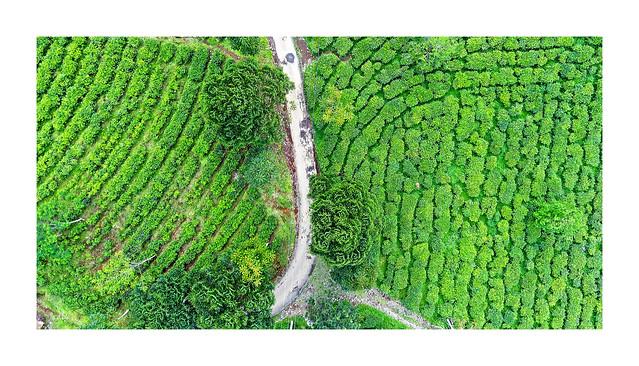 tea plantation @ selabintana - sukabumi