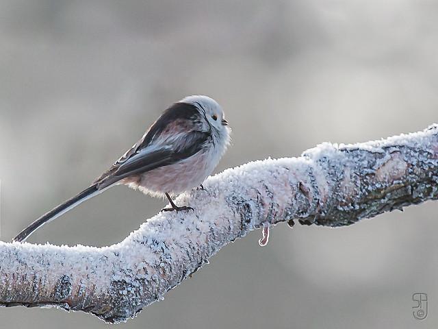 Long-tailed Tit (Aegithalos caudatus), caudatus subspecies-2