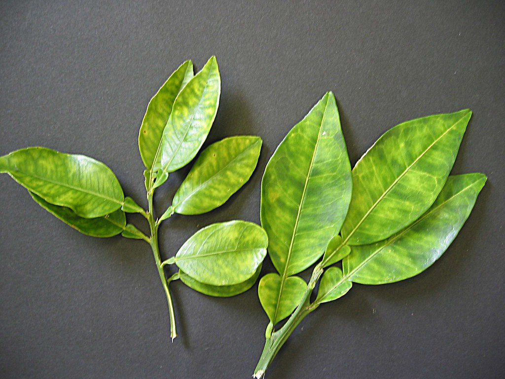 infected citrus fruit leaves