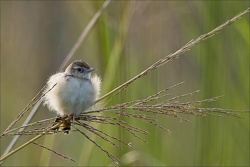 bird birds aves bangladesh avian bipedal bangla faisal desh zamir cisticolajuncidis zittingcisticola cisticola zitting pakhi endothermic juncidis jahangirnagaruniversity zamiruddin zamiruddinfaisal zfaisal