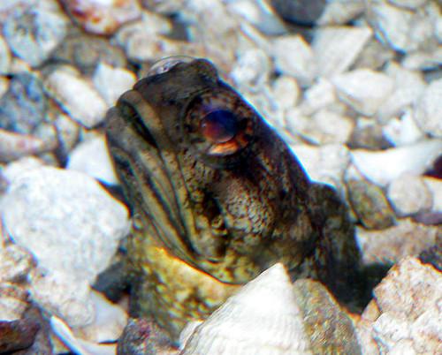 Dusky jawfish   by keywest aquarium