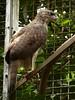 Harpyopsis novaeguineae - Papua-Adler - Papuan harpy eagle by Kowari