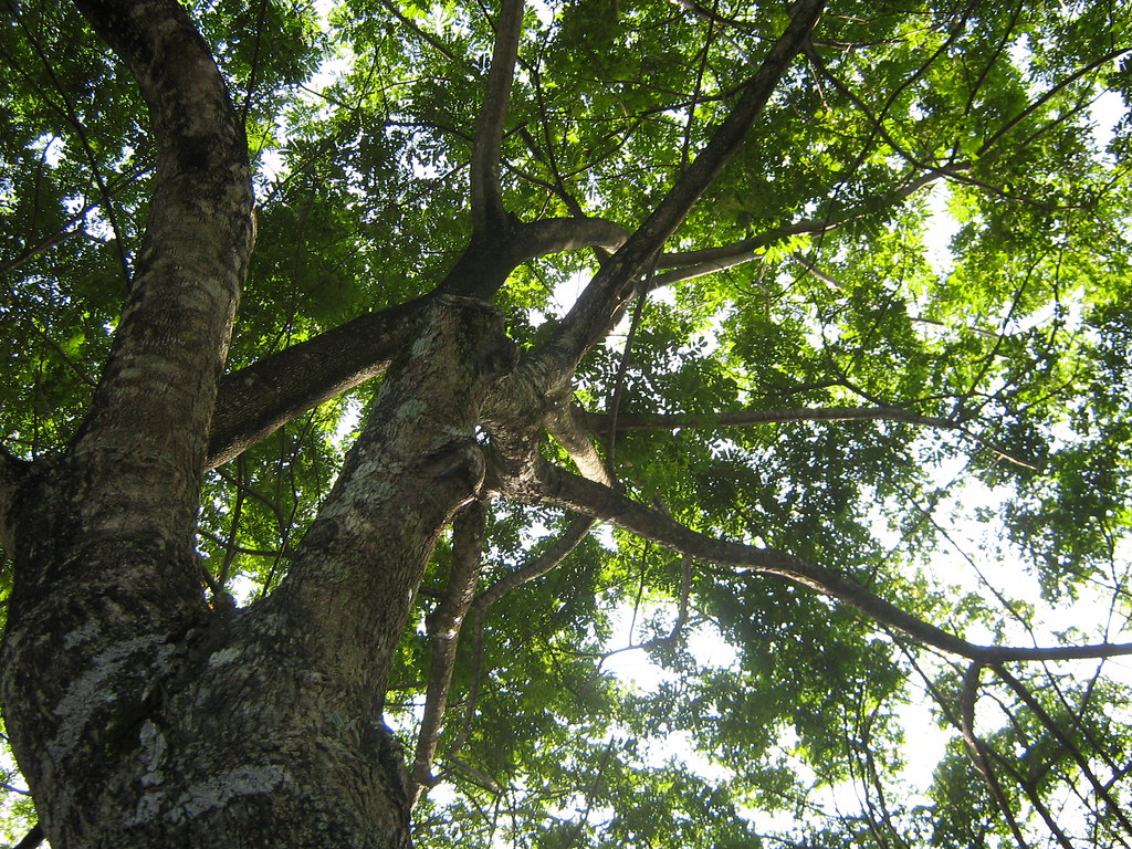 Dahan Pokok In English