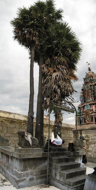 Sthala Vruksham - Palm tree 2