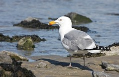Herring Gull, Sandy Hook, NJ