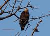 Pallas's Fish-Eagle (Haliaeetus leucoryphus) by vikrant1809