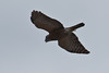 Double-toothed Kite by chlorophonia