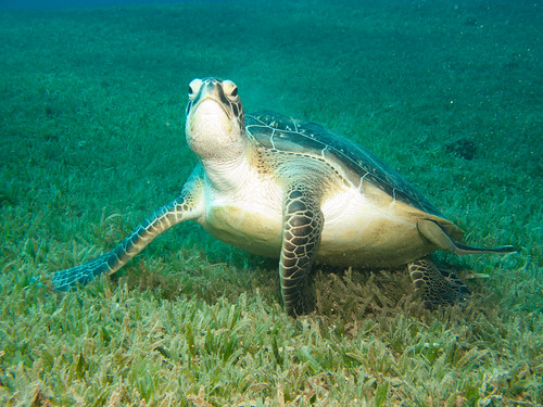 Green Turtle - Chelonia mydas | by prilfish