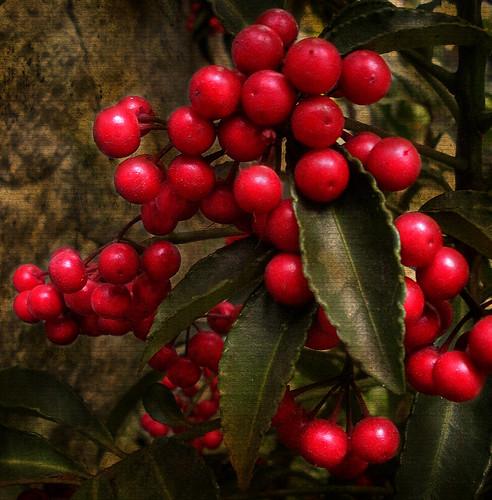 flowers red flores textura nature rouge berries natureza flor vermelho vernissage rosso 1000views mmgr frutinhas vosplusbellesphotos marthamgr musicsbest reservaespecial 4m´sphotographicdream 3msroyalflowers 2m´sroyalstation marthamariagrabnerraymundo marthamgraymundo