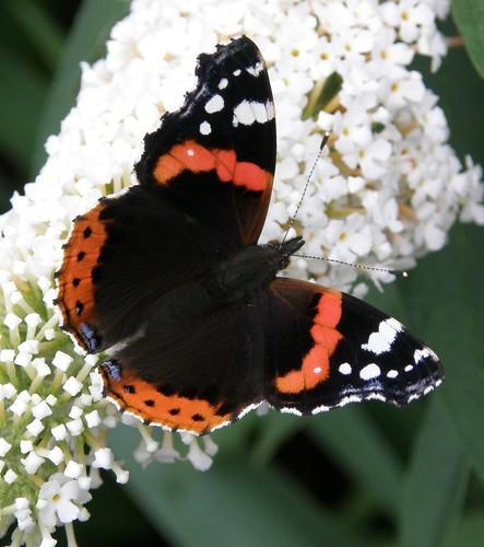 Butterfly 546 | by lilli2de