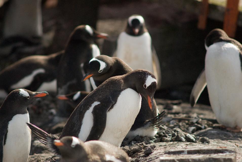 Penguin Chaos