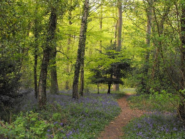 Bluebell Wood (1)