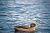 Speckled Teal (Anas flavirostris) by Ostrosky Photos
